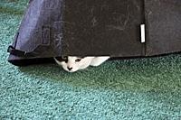 Black and white kitten under a black bag.