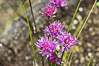 Chive flowers (Allium schoenoprasum). Chive blossoms are a flavorful, aromatic, and colorful edible flower that appear at the end of chive stalks in l...