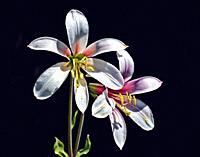 Cascade Lily or Washington Lily (Lilium Washingtonianum) seen here at Upper Klamath Lake in Southern Oregon. The plant is named for Martha Washington,...