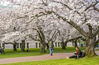 A student is sitting under the flowering cherry trees in spring time at the Quad of the University of Washington in Seattle, Washington State, USA.