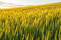 Evening light on a wheat field near Pullman in Whitman County in the Palouse, Eastern Washington State, USA.