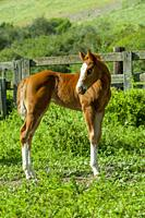 A 10 day old colt (horse) in Whitman County in the Palouse near Pullman, Eastern Washington State, USA.