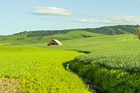 A red barn in a field in Whitman County in the Palouse near Pullman, Eastern Washington State, USA.