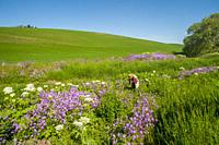 A man is photographing phlox and cow parsnip along a small creek near Pullman in Whitman County in the Palouse, Eastern Washington State, USA.