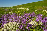 Phlox wildflowers and cow parsnip along a small creek near Pullman in Whitman County in the Palouse, Eastern Washington State, USA.