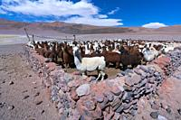 LLAMA (Lama glama). La Puna, Argentina, South America, America.