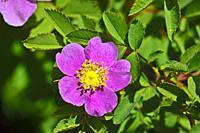 Wild Rose. Southern Oregon.