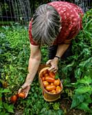 Woman age 62 picking tomato for canning.