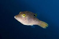 Compressed Toby (Canthigaster valentini), Melasti dive site, Seraya, Karangasem, Bali, Indonesia, Indian Ocean.