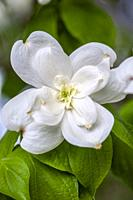 Double Blossoms on a dogwood Cornus florida, in the spring.