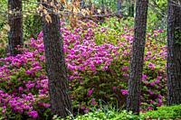 Azaleas in spring bloom among pine trees.