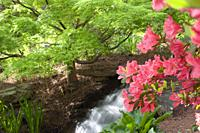 Small waterfall in a garden setting in the springs with a Japanese maple and a pink azalea in bloom.