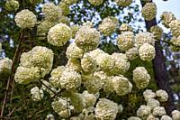 The flowering shrub, Viburnum opulus ´Sterile´ or snowball viburnum, in a garden setting.