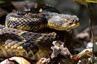 Timber Rattlesnake (Crotalus horridus) - Bracken Mountain Preserve, near Pisgah National Forest - Brevard, North Carolina, USA.