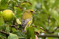 Male Greenfinch - Carduelis chloris perches on Apple tree-Malus. Summer.