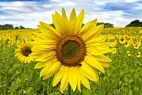 Sunflowers-Helianthus.