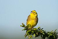 Male Yellowhammer-Emberiza citrinella in song. Spring. Uk.