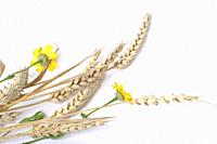 Wheat and golden daisies on white background.