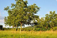 Trees in fields.