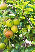 Apples . fresh fruit growing in garden. England UK.