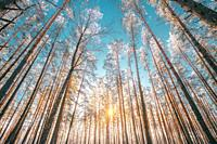 Beautiful Sunset Sunrise Sun Sunshine In Sunny Winter Snowy Coniferous Forest. Sunlight Through Woods In Winter Forest Landscape.