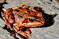 Reddish frog (Rana temporaria) in Montseny area, Barcelona, Spain