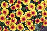 Vitamum Series Chrysanthemum (Chrysanthemum × morifolium 'Starspot') - North Carolina Arboretum, Asheville, North Carolina, USA.