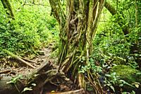 Landscape of Rainforest at the Lulumahu trail to the Lulumahu falls, Honolulu Watershed Forest Reserve, Hawaiian Island Oahu, Hawaii, Aloha State, Uni...