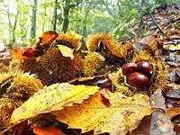 Chestnuts inside bur (Castanea sativa), Erola stream site at Viladrau village countryside. Autumn at Montseny Natural Park. Barcelona province, Catalo...