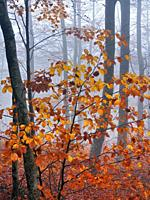Foggy autumn beech forest at Pla del Rovirol site. Montseny Natural Park. Barcelona province, Catalonia, Spain.