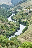 Portugal. Vineyards along the Tavora river, a tributary of the Douro river between Paso da Regua and Pinhao on the Viseu District or southern bank of ...