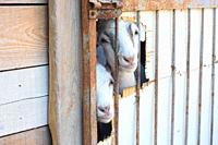 Two young goats peeking out of a hole in the pen.