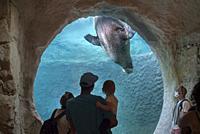 Visitors with child watching walrus (Odobenus rosmarus) swimming underwater in tank at Pairi Daiza animal park / zoo, Brugelette, Hainaut, Belgium