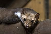 Beech marten / stone marten (Martes foina) looking down from beam in wooden roof truss of barn / shed / house