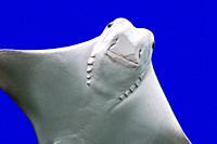Cownose ray (Rhinoptera bonasus), species of eagle ray native to western Atlantic and Caribbean