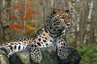 Amur leopard (Panthera pardus orientalis) resting on rock in birch forest in autumn, native to southeastern Russia and northern China