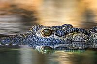 Nile crocodile (Crocodylus niloticus), close-up of head showing eye with vertically slit pupil while floating in water of lake, native to Africa