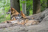 Two European gray wolves / wild grey wolf (Canis lupus) couple resting in front of den in forest