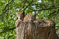 Three young Eurasian lynxes (Lynx lynx) juveniles resting on top of tree trunk in forest