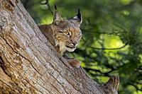 Eurasian lynx (Lynx lynx) resting on fallen tree trunk in forest