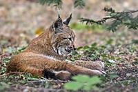 Young Eurasian lynx (Lynx lynx) juvenile resting in forest