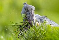Africa, Uganda, Mabamba swamp, Shoebill (Balaeniceps rex), hunting for dipneuste (protoptera, pulmonary bony fish that bury themselves in the mud when...