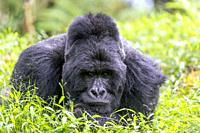 Africa, Uganda, Mgahinga, The Mgahinga Gorilla National Park in Uganda adjoins the Virunga National Park in the Democratic Republic of the Congo and t...