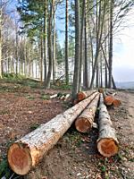 Selective logging of European silver fir pine forest (Abies alba) at Pla del Rovirol site. Montseny Natural Park. Barcelona province, Catalonia, Spain...