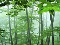 Misty beech forest (Fagus sylvatica) at Font del Muro site. Summer time at Montseny Natural Park. Barcelona province, Catalonia, Spain.