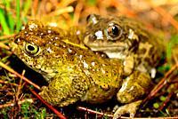 Iberian spadefoot toad (Pelobates cultripes) and natterjack toad (Epidalea calamita) in Valdemanco, Madrid, Spain