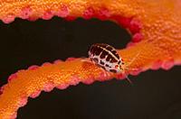 Ladybug Amphipod (Cyproideidae Family) on coral, Emerald dive site, Seraya, Karangasem, Bali, Indonesia, Indian Ocean.
