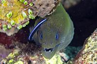 Giant Moray Eel (Gymnothorax javanicus) being cleaned by Bluestreak Cleaner Wrasse (Labroides dimidiatus), Emerald dive site, Seraya, Karangasem, Bali...