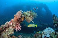 Ribbon Sweetlips (Plectorhinchus polytaenia) with wreck in background, Liberty Wreck dive site, Tulamben, Karangasem, Bali, Indonesia, Indian Ocean.