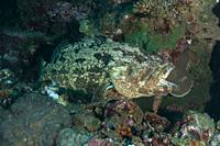 Brown-Marbled Grouper (Epinephelus fuscoguttatus) with open mouth being cleaned by Bluestreak Cleaner Wrasse (Labroides dimidiatus), Liberty Wreck div...